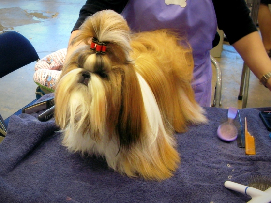 Shih tzu at the Dog Show